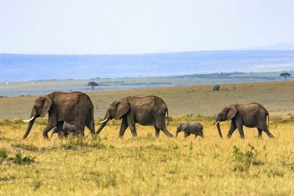 living longer elephants